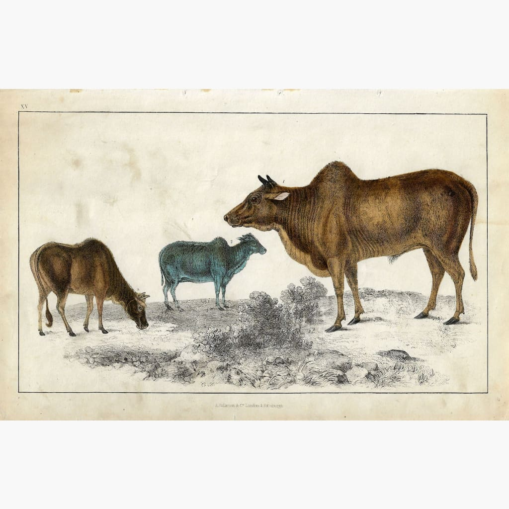Antique Print Zebu c.1840 Prints