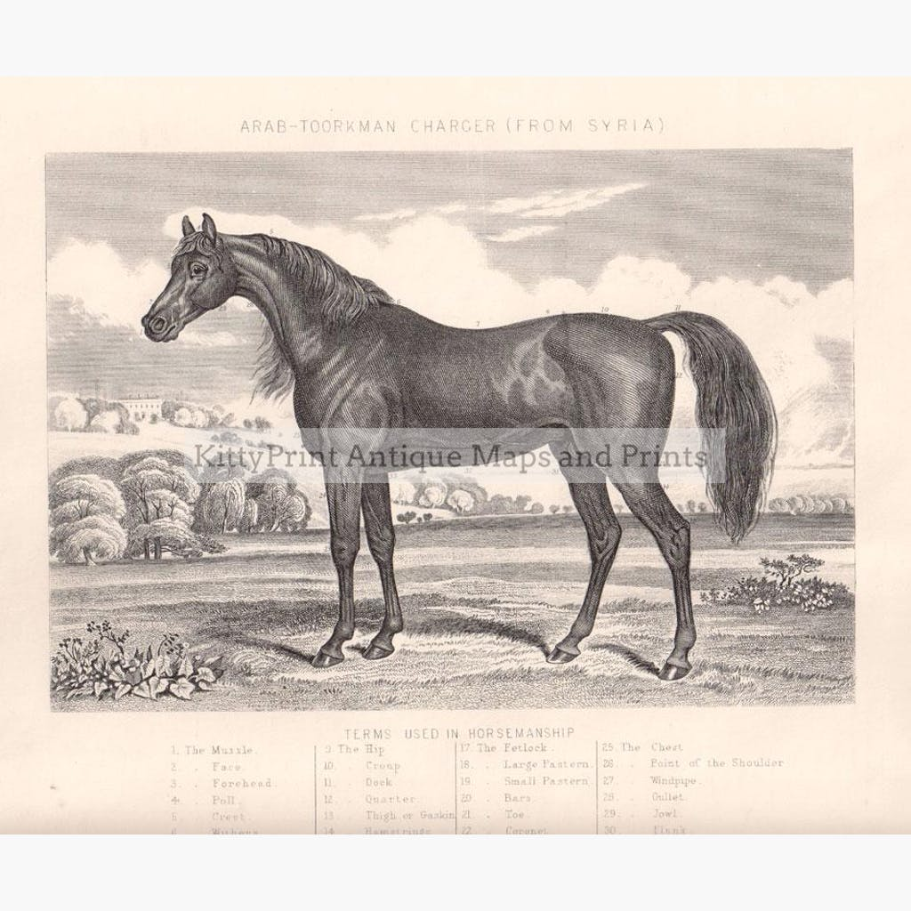 Arab Toorkman Charger from Syria 1880 Prints KittyPrint 1800s Horses
