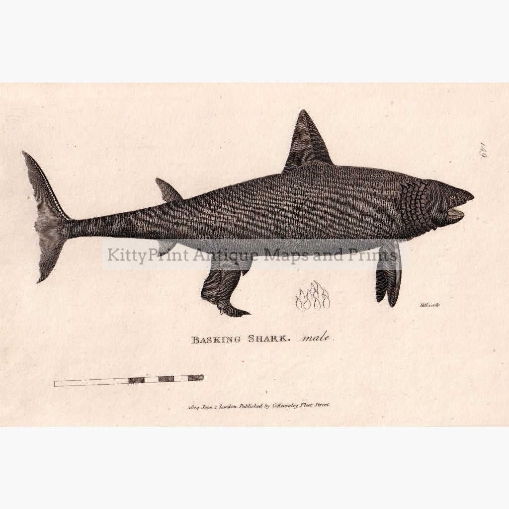 Basking Shark 1804 Prints
