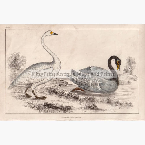 Bewick's And Black-Necked Swan C.1840 Kittyprint Prints