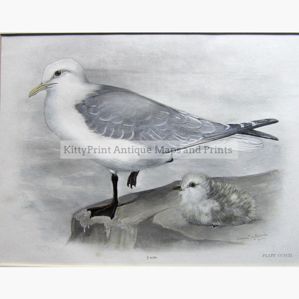 Black-legged Kittiwake adult and nestling 1909 Prints KittyPrint 1900s Birds