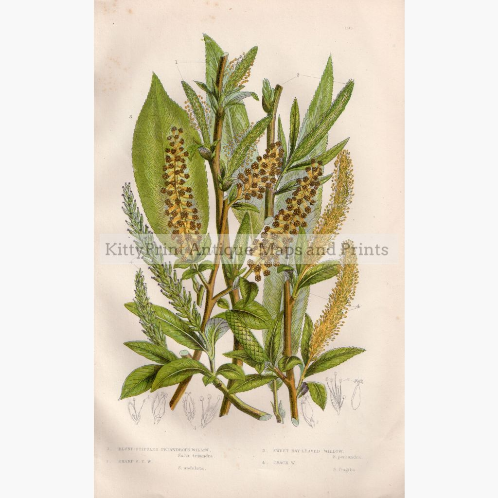 Blunt-Stipuled Triandrous Willow Bay Leaved C.1860 Prints