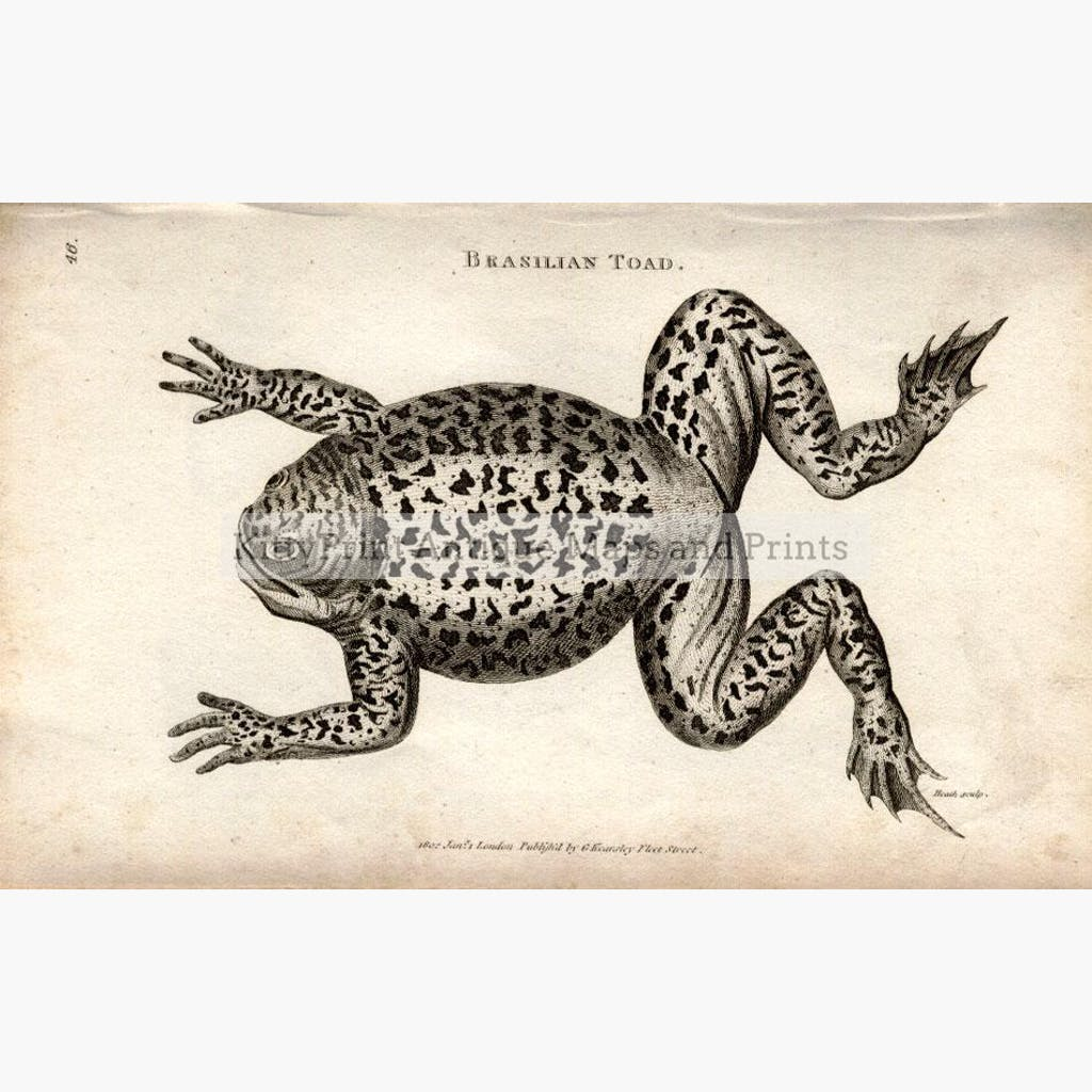 Brasilian Toad 1801 Prints KittyPrint 1800s Insects & Reptiles