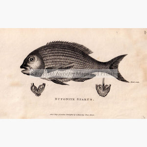 Bufonite Sparus ( Fish) 1803 Prints