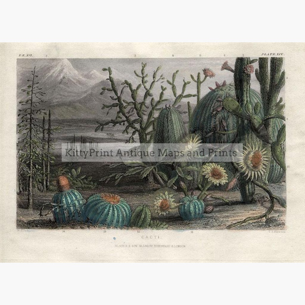 Cacti c.1840 Prints KittyPrint 1800s Botanical (Plants) Landscapes