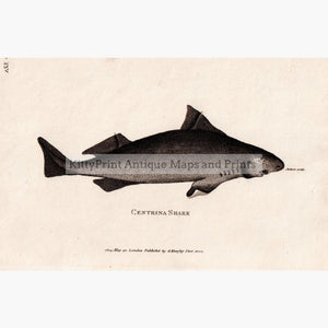 Centrina Shark 1804 Prints