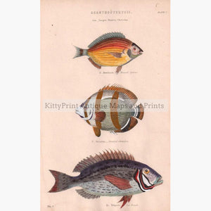 Chaetodons 2 c.1880 Prints KittyPrint 1800s Fish