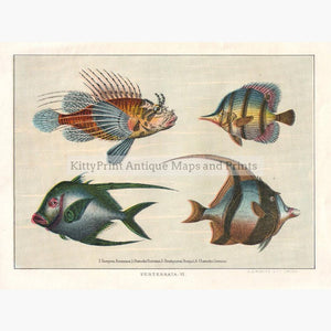 Chaetodons c.1900 Prints KittyPrint 1900s Fish