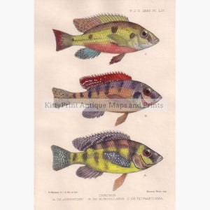 Chromis 1893 Prints KittyPrint 1800s Fish
