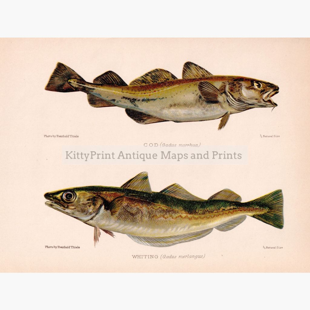 Cod Whiting 1902 Prints