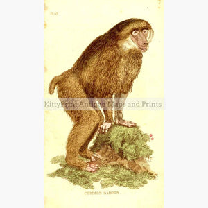 Common Baboon c.1790 Prints KittyPrint 1700s Monkeys & Primates