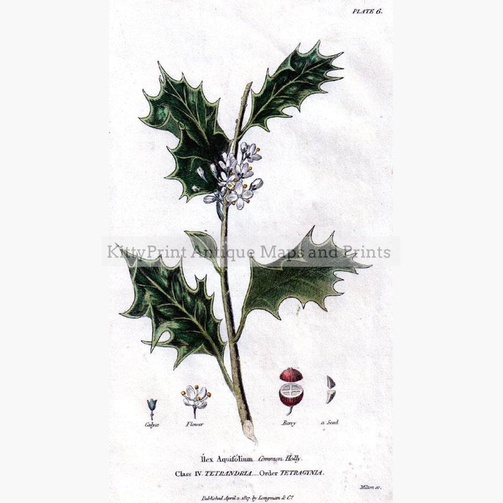 Common Holly 1817 Prints KittyPrint 1800s Botanical (Plants)