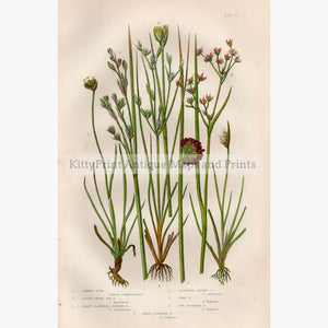 Common Rush Lesser Sharp Sea Juncus C.1860 Prints
