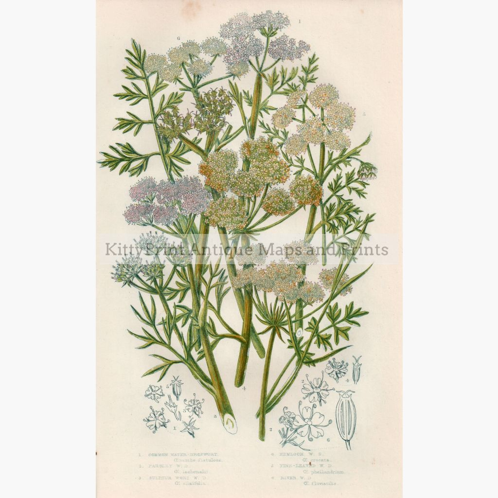 Common Water Dropwort Hemlock C. 1860 Prints