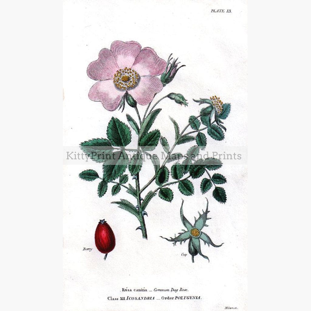 Common Dog Rose 1817 Prints KittyPrint 1800s Botanical (Plants)