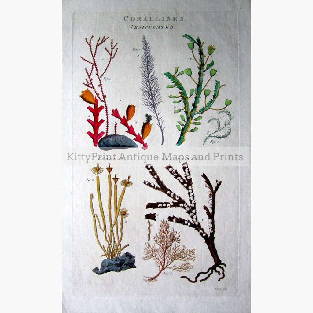 Corallines. Vesiculated Tubular Celliferous 1789 Prints KittyPrint 1700s Corals & Molluscs