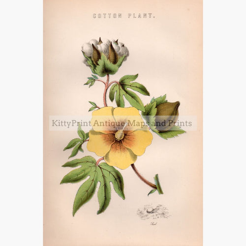 Cotton Plant 1881 Prints