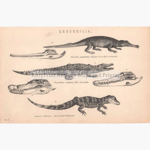 Crocodilia 1881 Prints