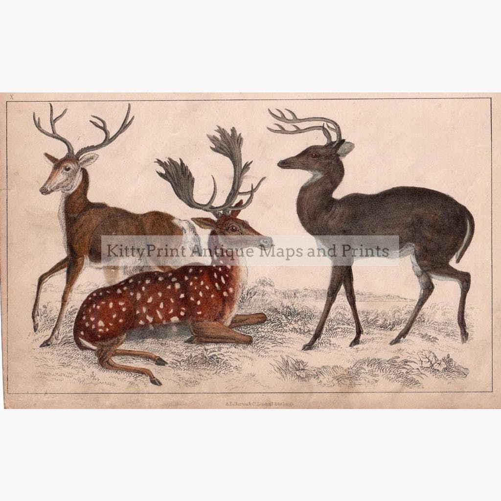 Deer Longhaired Virginian and Fallow Deer 1855 Prints KittyPrint 1800s Monkeys & Primates