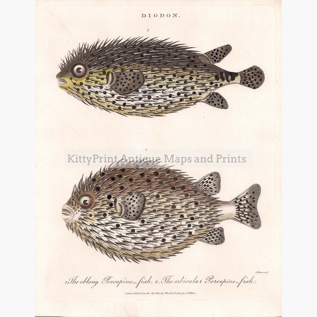 Diodon the Porcupine-fish 1803 Prints KittyPrint 1800s Fish