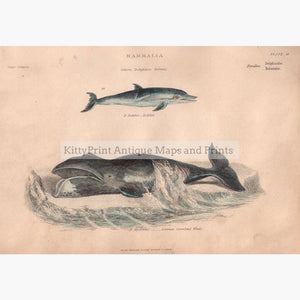 Dophin,Whale c.1880 Prints KittyPrint 1800s Fish Monkeys & Primates