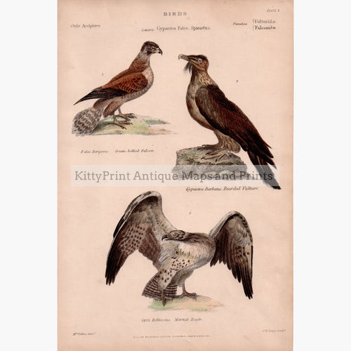 Eagle Falcon Vulture c.1860 Prints KittyPrint 1800s Birds