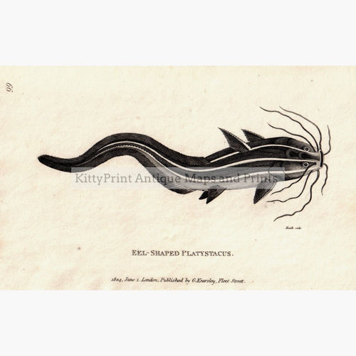 Eel-Shaped Platystacus 1804 Prints