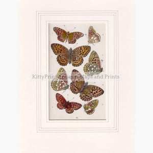 Eight Butterflies C. 1850 Prints