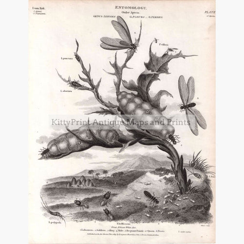 Entomology Order Aptera 1819 Prints