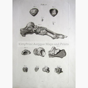 Foot Anatomy C.1800 Prints
