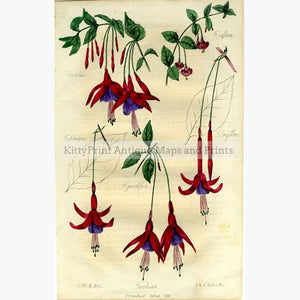 Fuchsias c.1835 Prints KittyPrint 1800s Botanical (Plants)