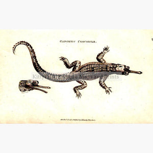 Gangetic Crocodile 1801 Prints KittyPrint Insects & Reptiles