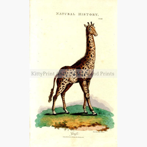 Giraffe 1808 Prints KittyPrint 1800s Monkeys & Primates