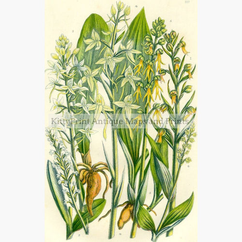 Green Habenaria Butterfly Orchis C.1860. Prints