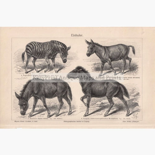 Horse-Like Animals Einhufer. 1906 Prints