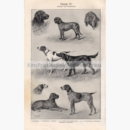 Hunde 4. Hunting Dogs. Pointers Setters 1906 Prints