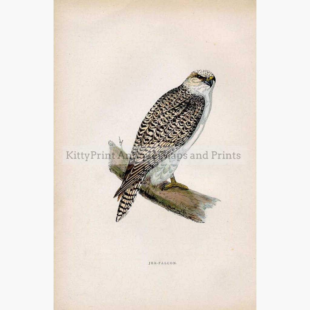 Jer-Falcon Falco rusticolus c.1860 Prints KittyPrint 1800s Birds