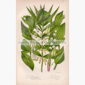 Lily Of The Valley Solomon's Sea C.1860. Prints