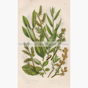 Little Tree Willow Don's Salix C.1860 Prints