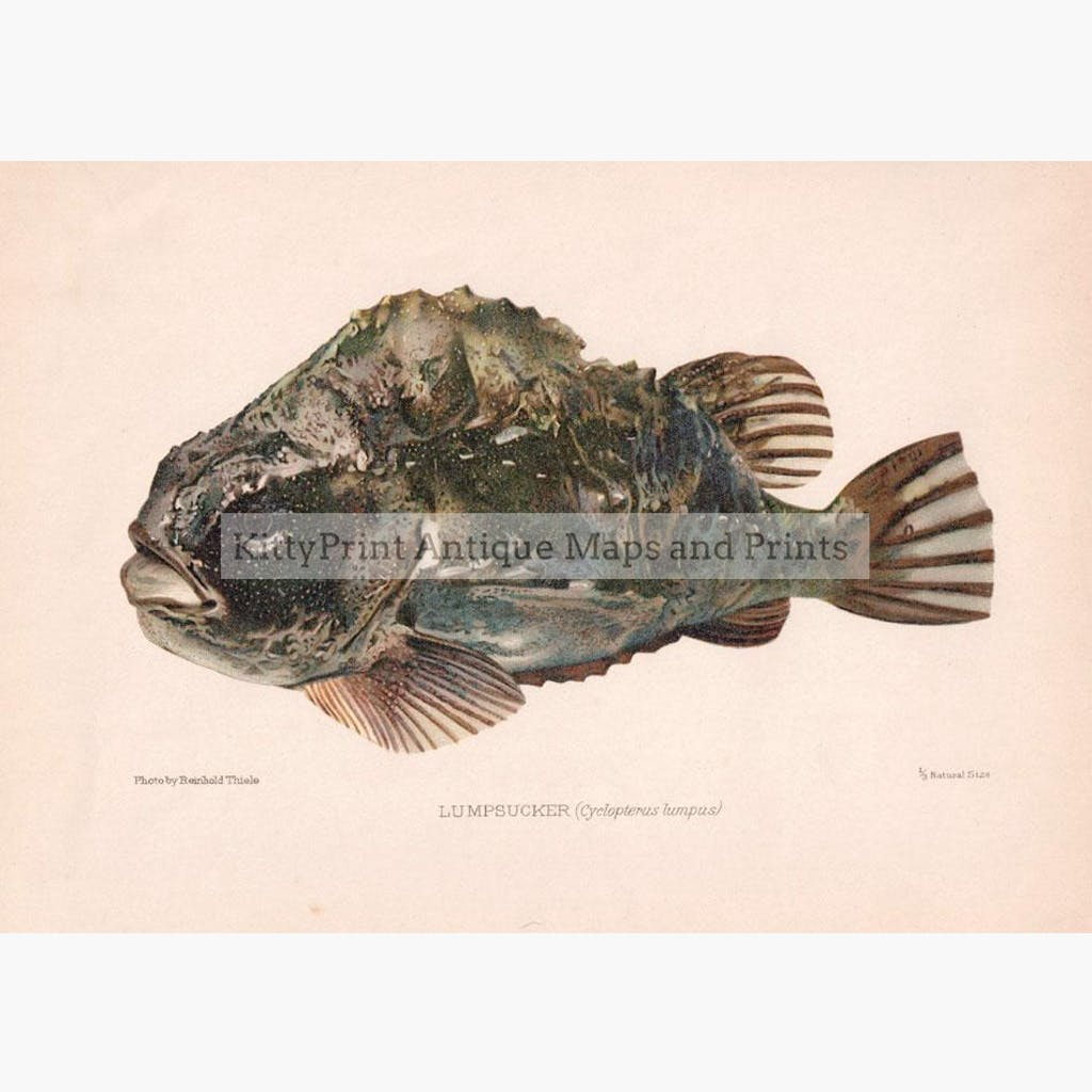 Lumpsucker Cyclopterus lumpus 1902 Prints KittyPrint 1900s Fish