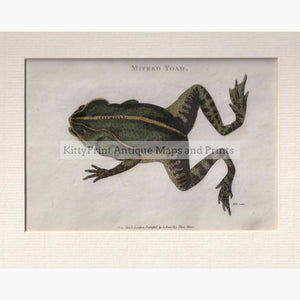 Mitred Toad 1809 Prints