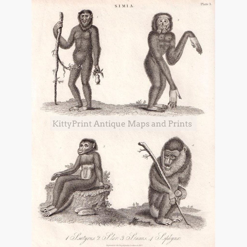 Monkeys Simia satyrus S.lar S.innus S.sphynx 1827. Prints KittyPrint Monkeys & Primates