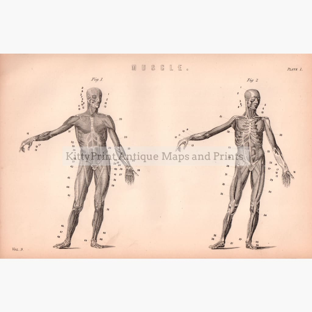 Muscle. Plate 1 1881 Prints
