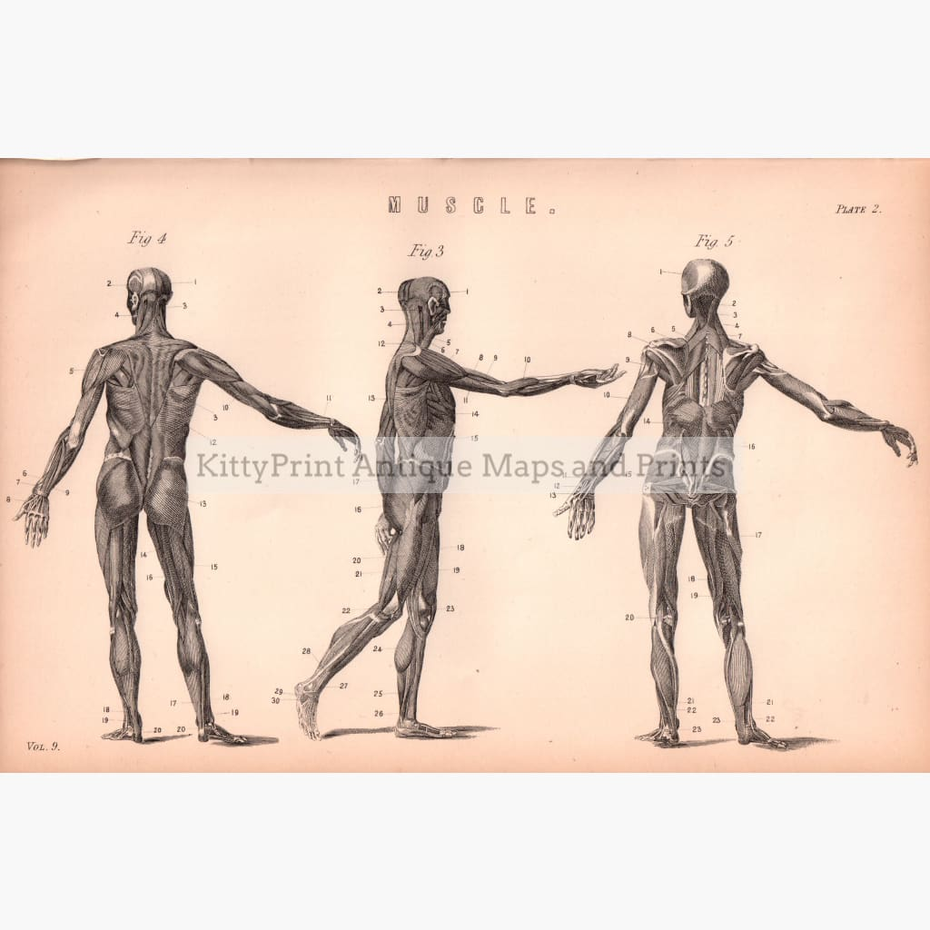 Muscle. Plate 2 1881 Prints