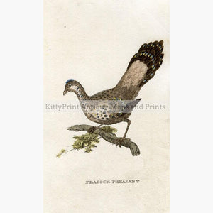 Peacock Pheasant c.1800 Prints KittyPrint 1800s Birds
