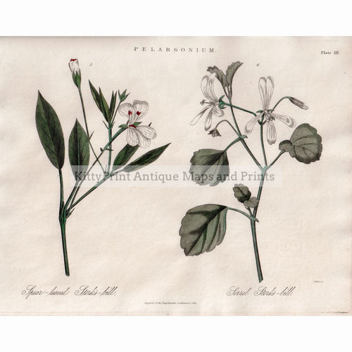 Pelargonium,1823 Prints
