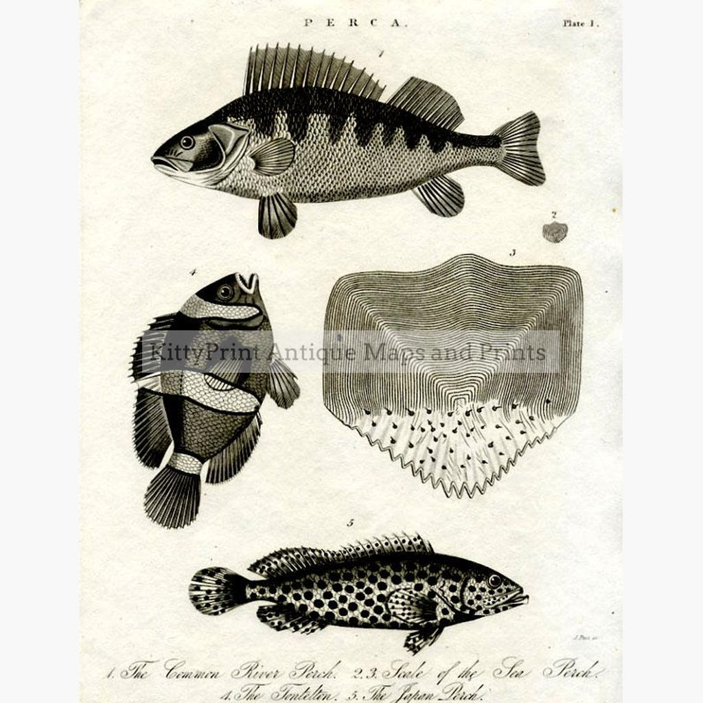 Perca 1 The Common River Perch 1823 Prints KittyPrint 1800s Fish