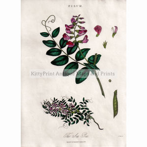 Pisum,the Sweet Pea 1825 Prints