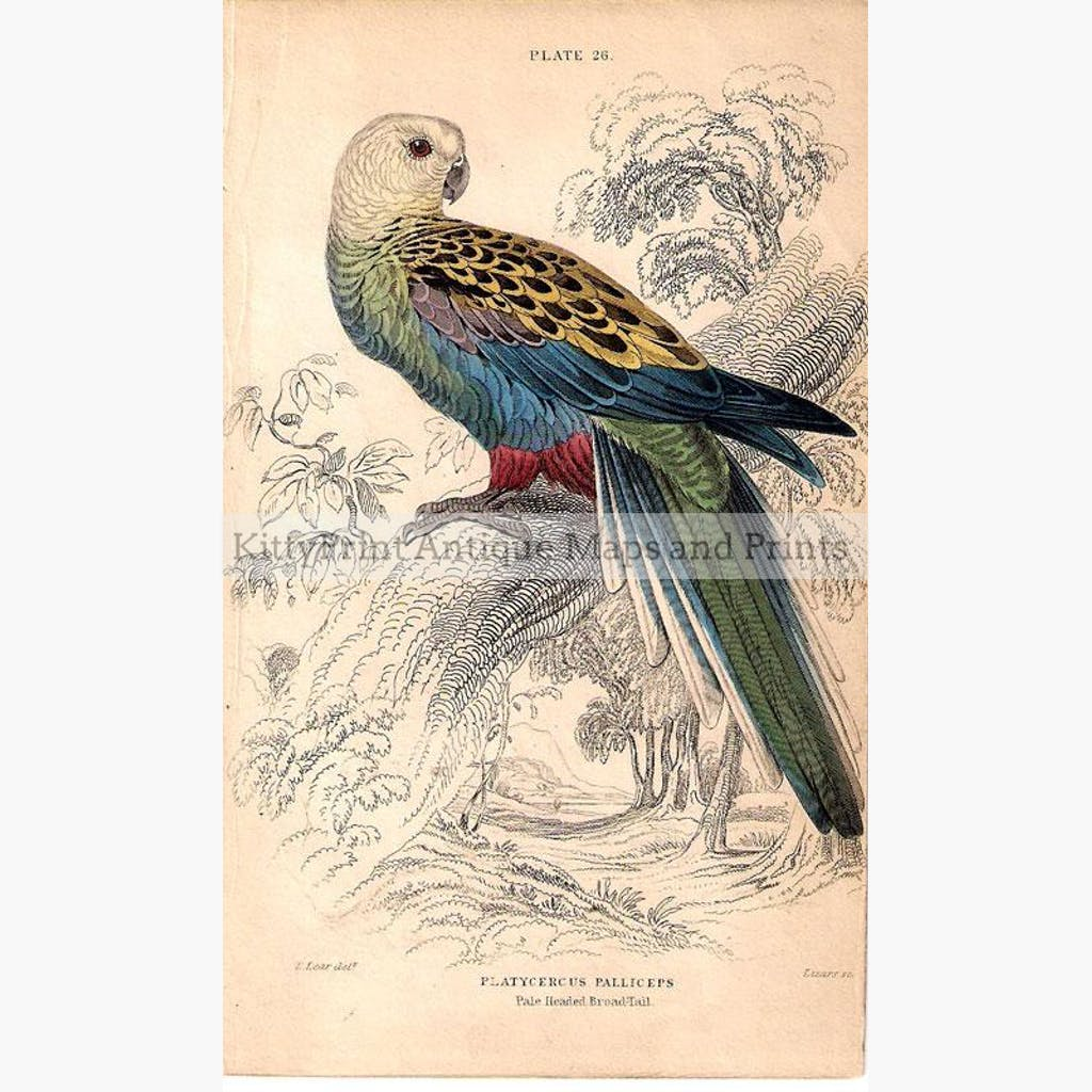 Platycercus Palliceps Pale headed Broad Tail 1860 Prints KittyPrint 1800s Australia & Oceania Birds