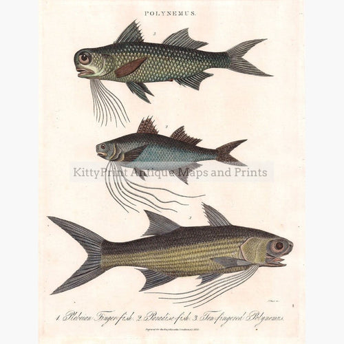 Polynemus. Paradise-fish 1825 Prints KittyPrint 1800s Fish